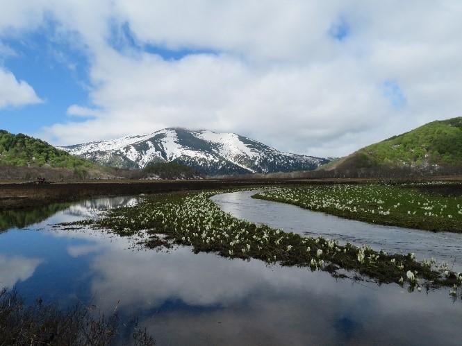 画像:至仏山をバックに池の中にたくさんの水芭蕉が咲いていました
