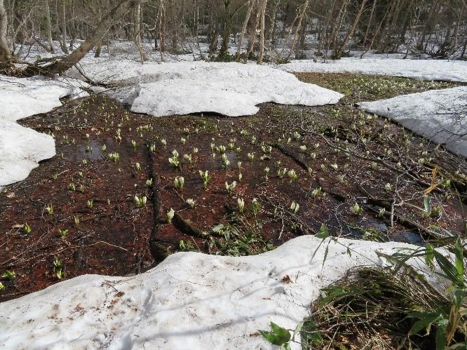 画像:雪の中に水芭蕉が咲いていました