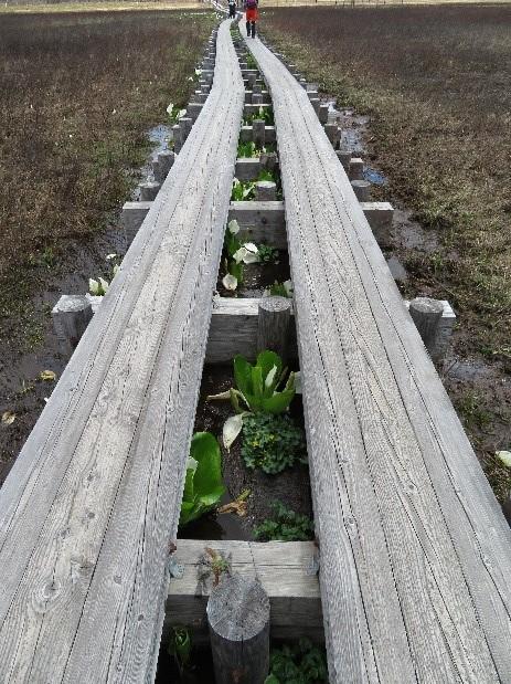 画像:木道の間に水芭蕉が咲いていて 癒されました